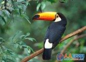 世界什么鸟嘴巴最大