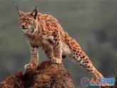 世界最像猫的野生猫科动物