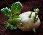 发芽的土豆能吃吗有毒吗